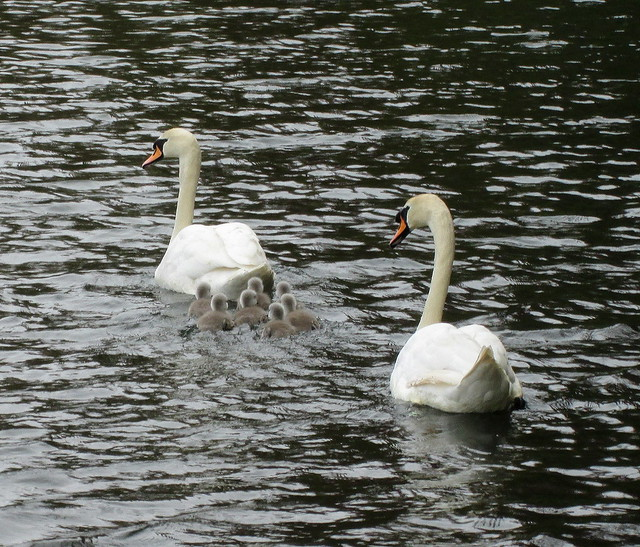 This Year's Cygnets