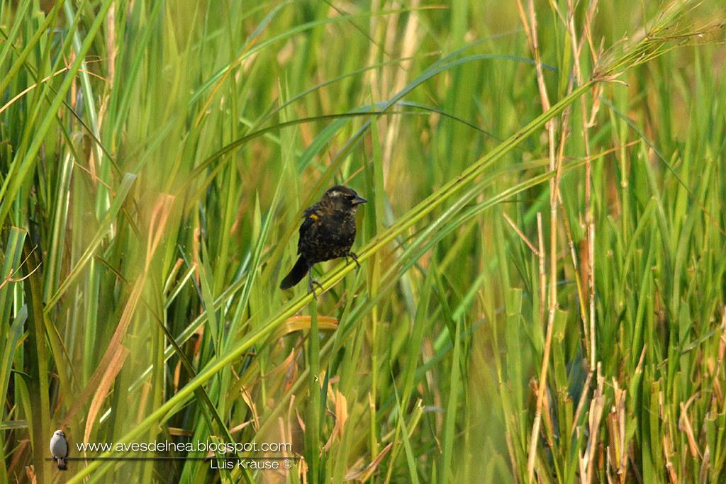 Varillero ala amarilla (Yellow-winged Blackbird) Agelasticus thilius