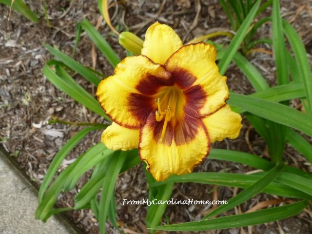 Day Lily June 2015 red yellow