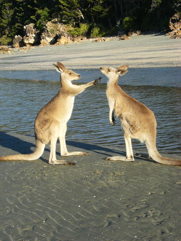Känguru am Strand