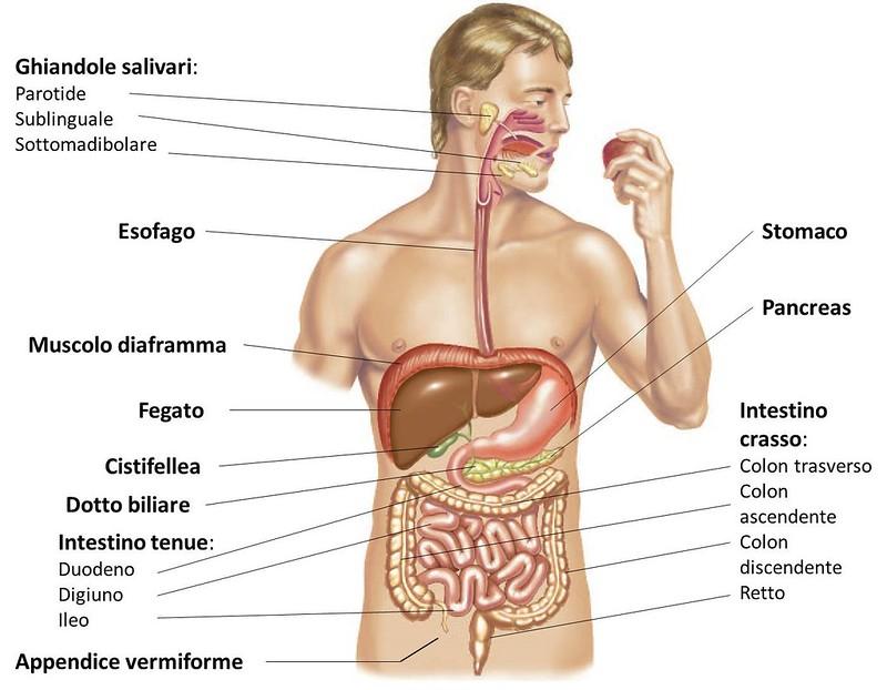 tronco anatomico umano