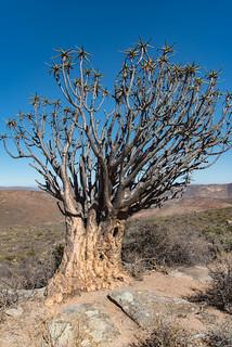 Quiver-Tree (Köcherbaum)