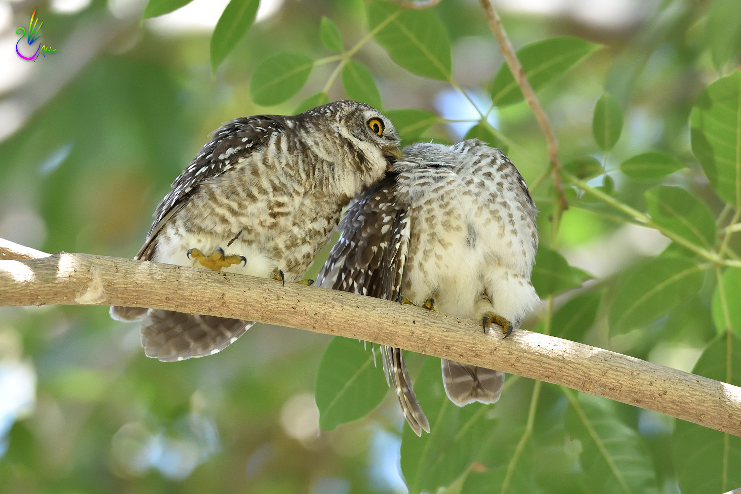 Spotted_Owlet_9364