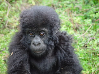 Baby Gorilla | by William Dorgan