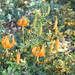 Lilium pardalinum(?)