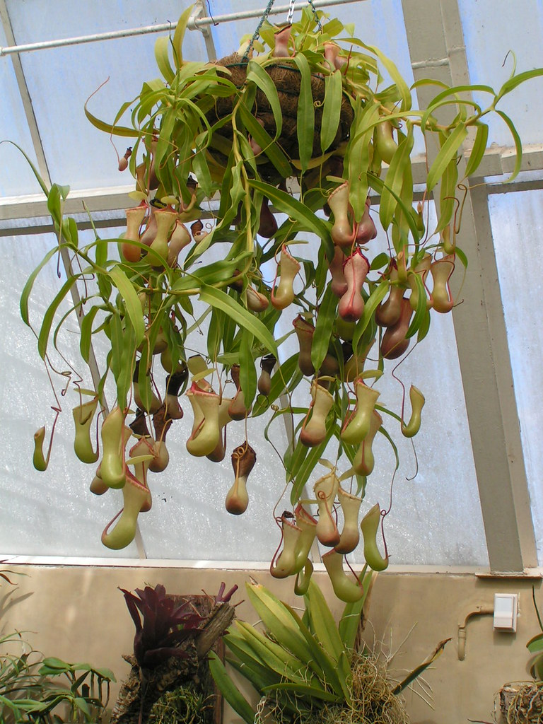 hanging pitcher plant | Drew Mackie | Flickr