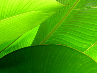 Palm Leaves | by libraryman