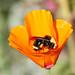 Bee in the Poppy
