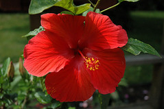 Hibiscus Flower | by caribb