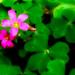 Flor de la suerte