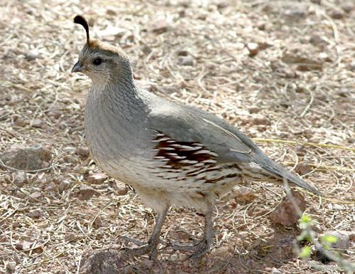female gambel 39 s quail female gambel 39 s quail desert