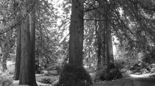 SF Botanical Garden - Redwood grove pano