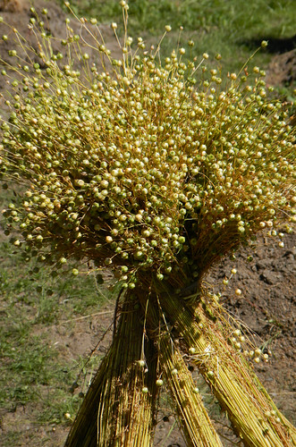 A sheath of indian sweet grass