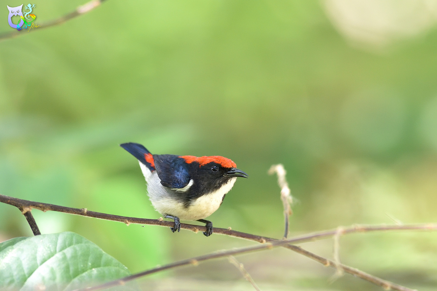 Scarlet-backed_Flowerpecker_2432