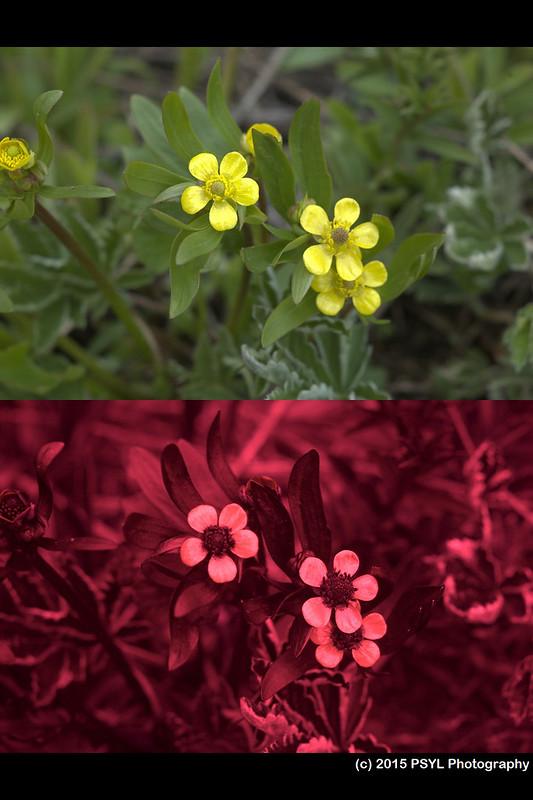 Ranunculus alismifolius (visible and UV)
