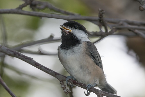 Black-capped Chickadee--fledging day!