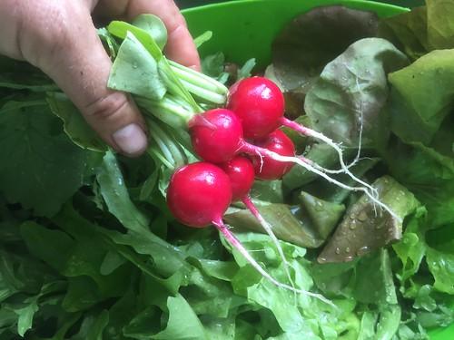 todays harvest IMG_2147