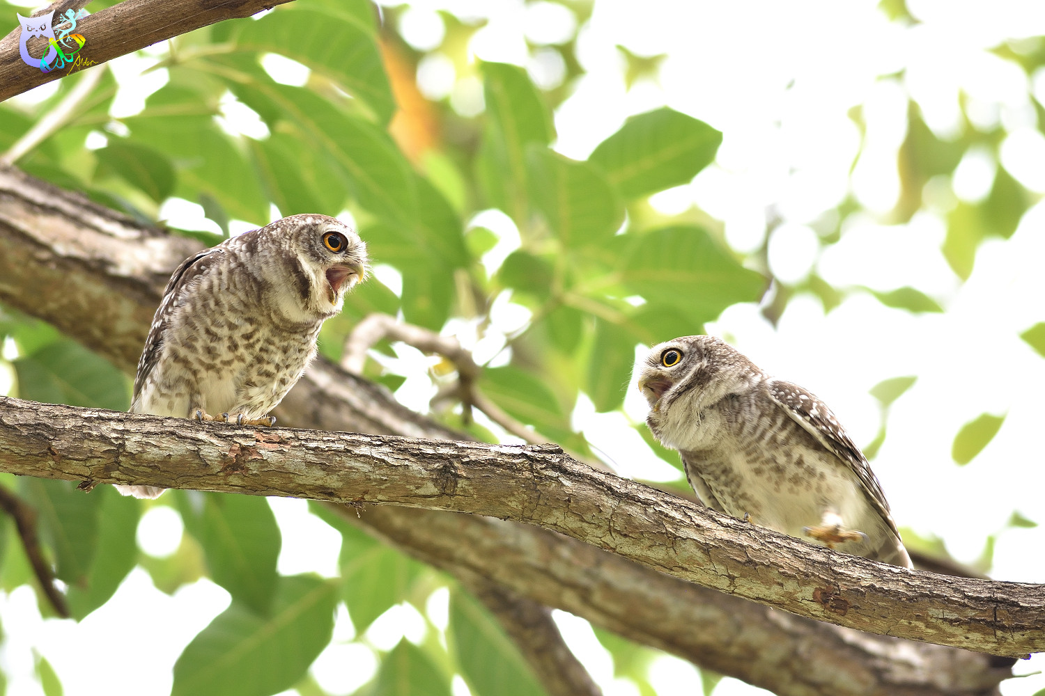 Spotted_Owlet_3240