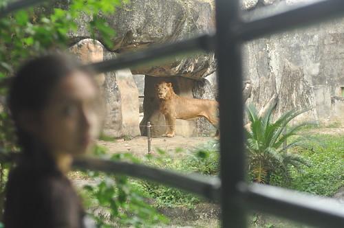 Lion (Avilon Zoo)