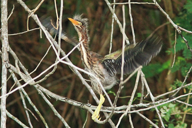 Green Heron nestling trying wings 4-20150605