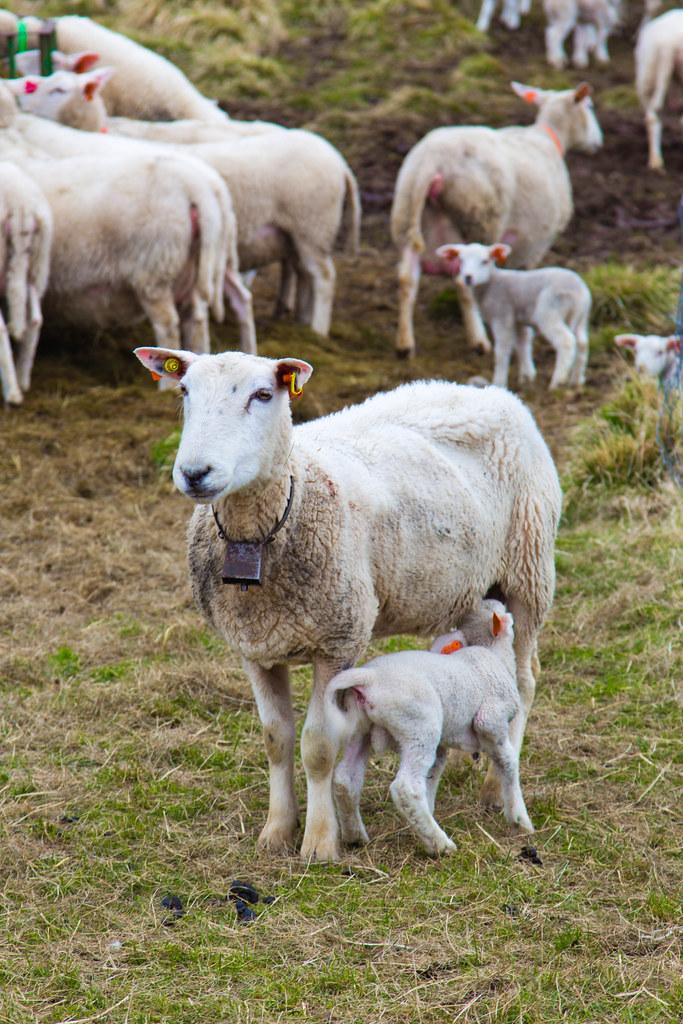 Sheep-24