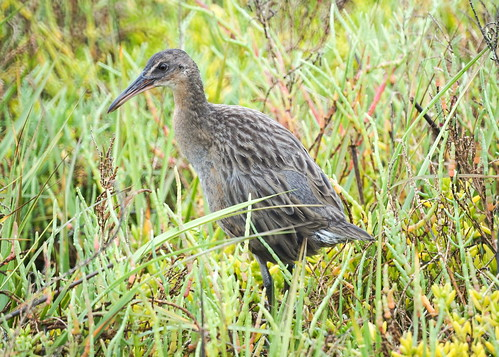 Ridgeway Rail (Light-footed clapper rail) at Bolsa Chica Ecological Reserve in Huntington Beach