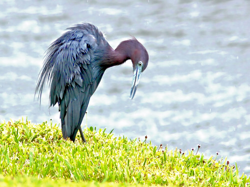 Little Blue Heron HDR 4-20150726