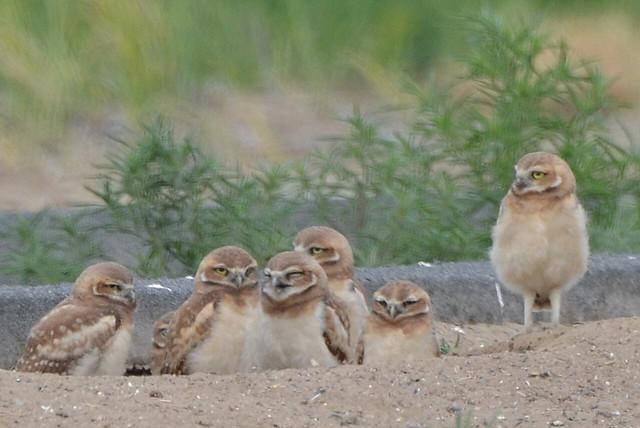 Burrowing Owls 6-3-15