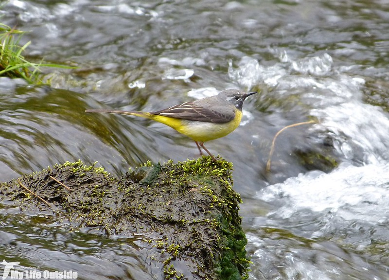 P1130030 - Grey Wagtail, Monsal Dale