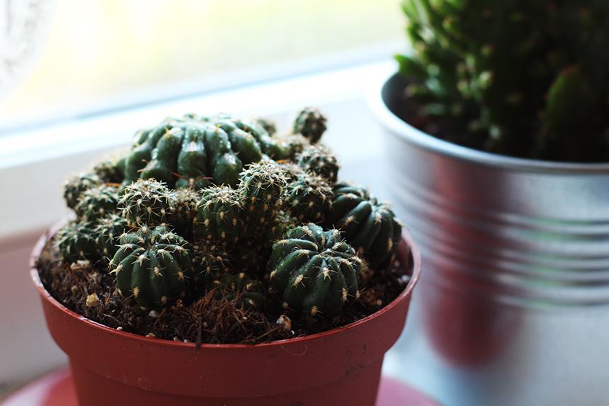 little cactus sm