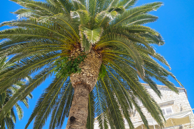 Splendid palm