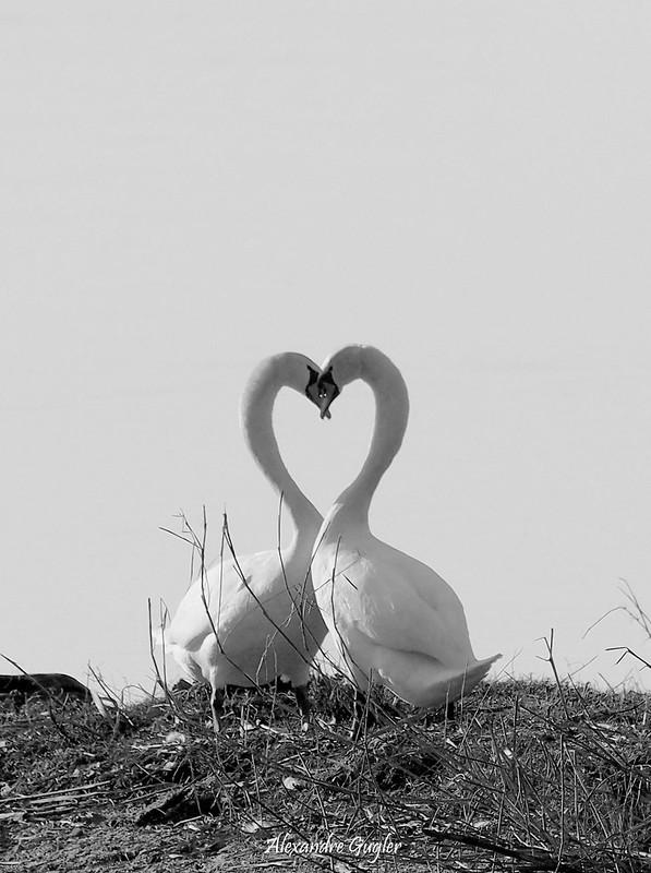 Cygnes d'amours natur'ailes 32184304333_87142f796c_c