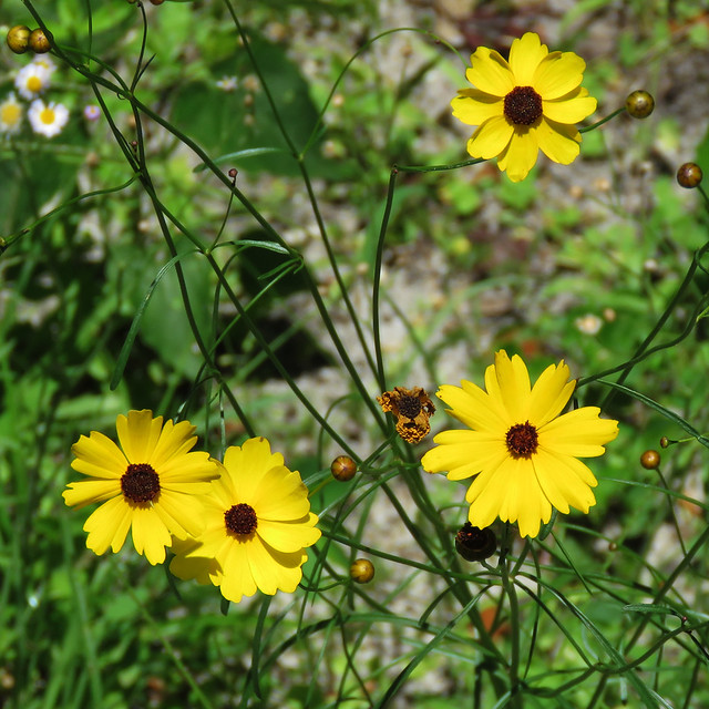 Leavenworth's Tickseed (Coreopsis leavenworthii)