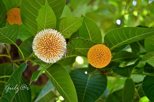 কদম ফুল | Flickr - Photo Sharing!