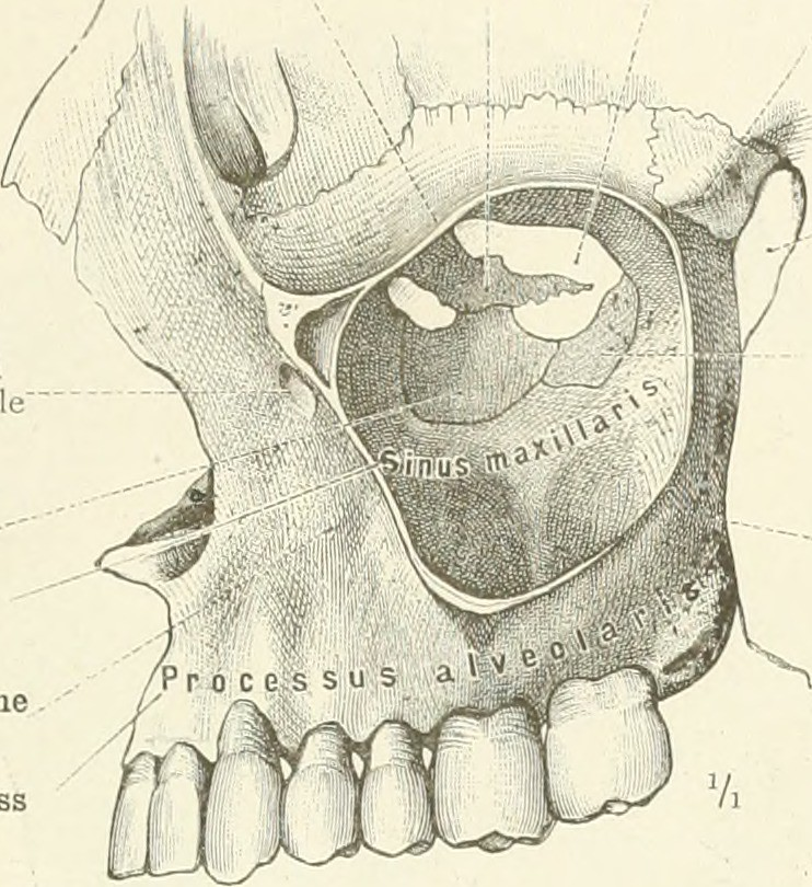 Image From Page 112 Of An Atlas Of Human Anatomy For Stud Flickr