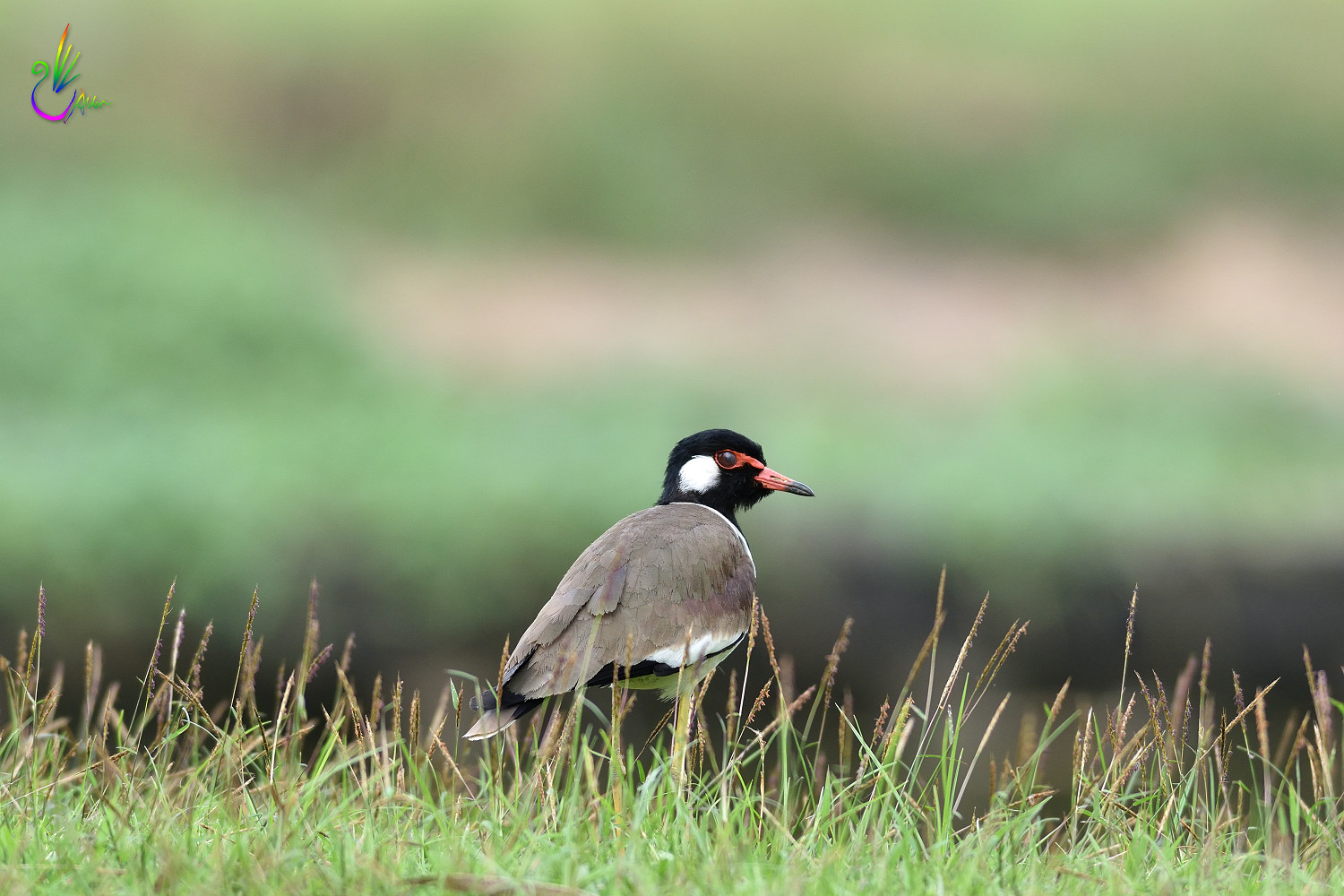Red-wattled_Lapwing_3368