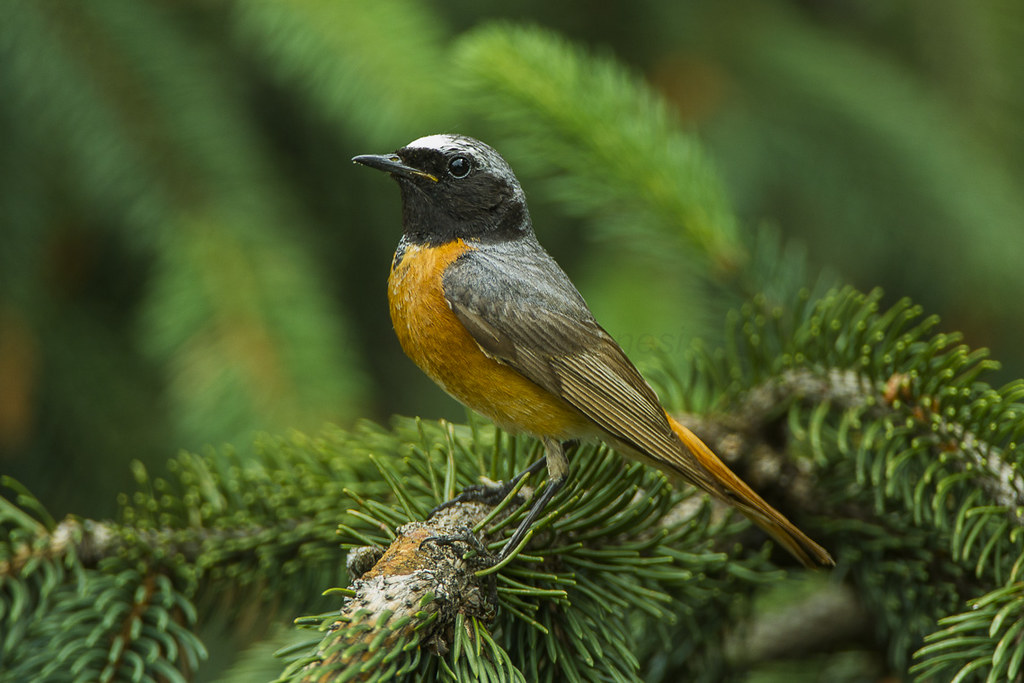 Segrate Italy  city photos gallery : Common Redstart Segrate Italy S4E2518 1 | Flickr Photo Sharing!