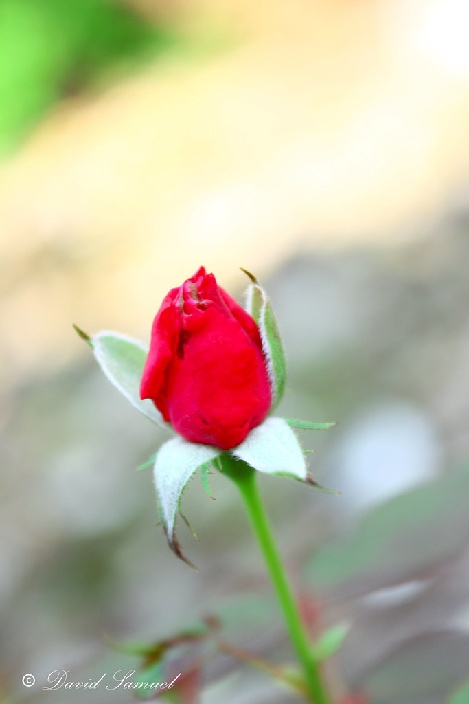 More Than A Red Rose #flower #photography #art #flickr #20… | Flickr