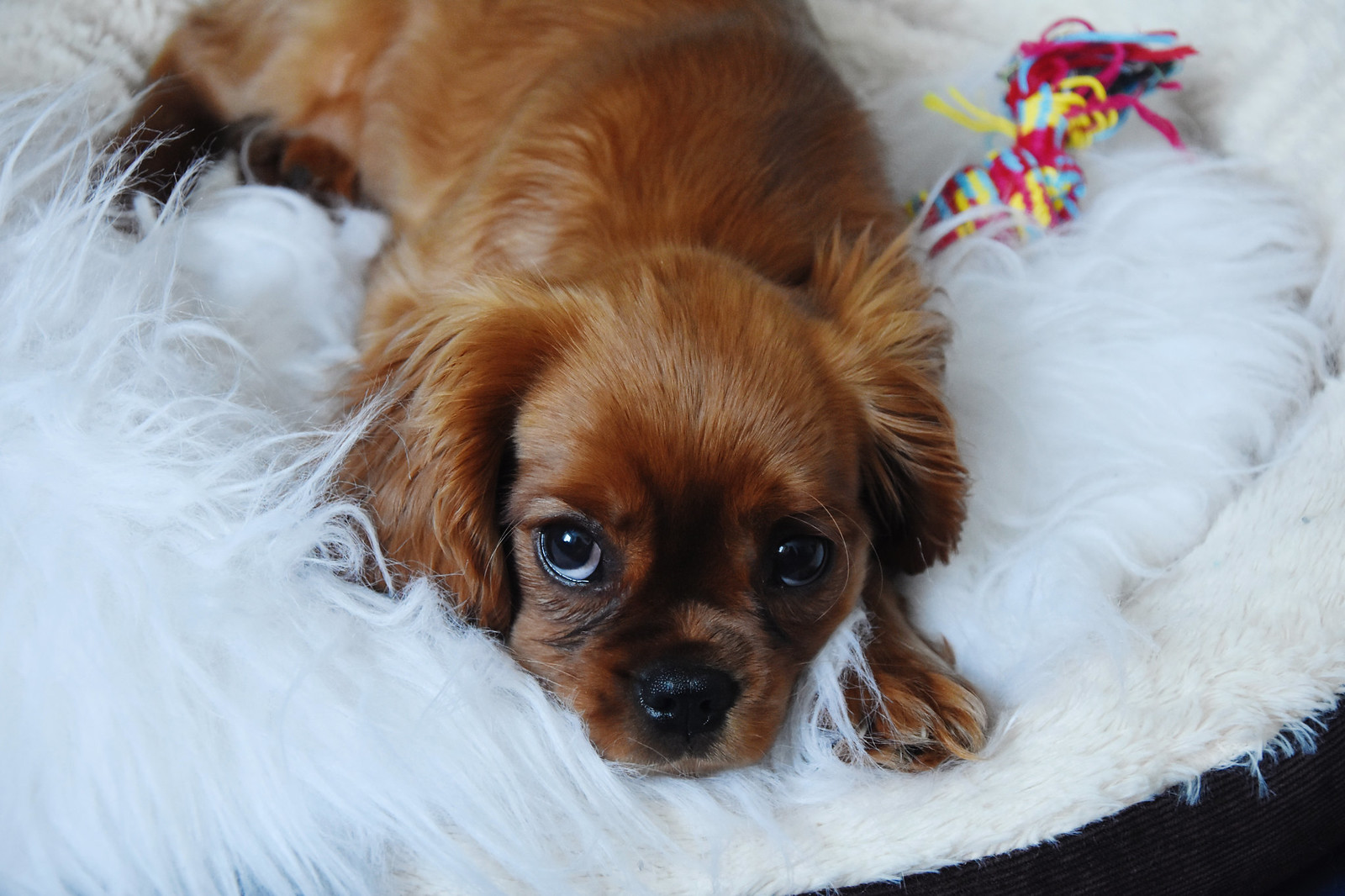 Cavalier King Charles puppy all brown