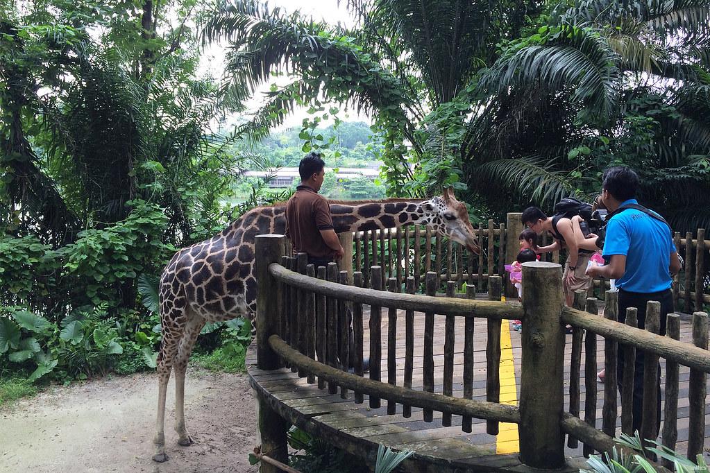 lavlilacs Singapore Zoo giraffe