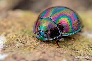 Darkling beetle (Tetraphyllus cf. corruscus) - DSC_9022