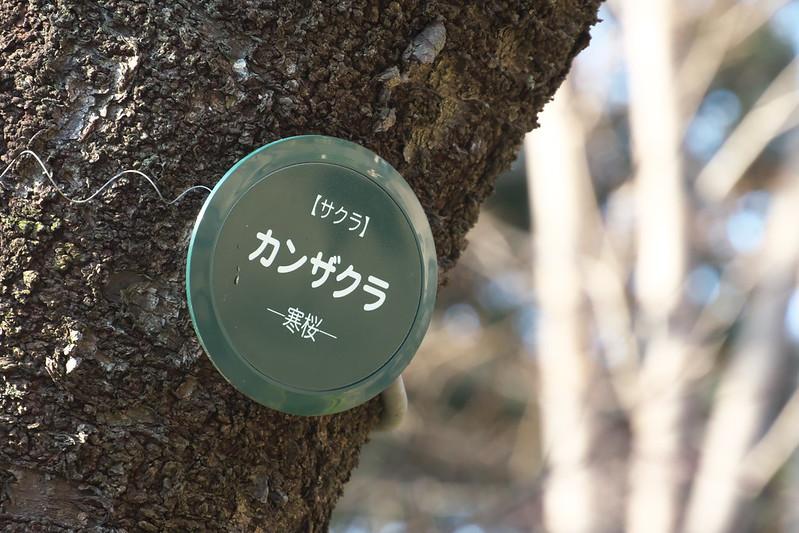 上野公園のカンザクラ