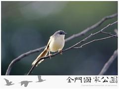 灰頭鷦鶯-01