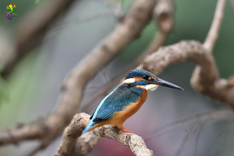 Common_Kingfisher_8990