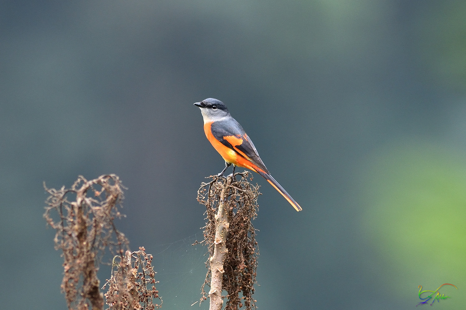 Grey-chinned_Minivett_7985
