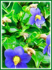 Beautiful purple-coloured flowers of Exacum affine (Persian Violet, Exacum Persian Violet), 14 June 2013 in our garden