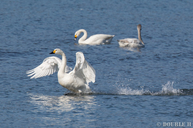 Kohoku Bird-watching party Feb. 2017 (4) Tundra swan / コハクチョウ