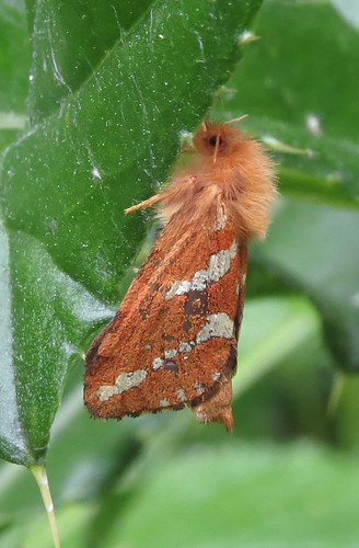 Gold Swift Phymatopus hecta Tophill Low NR, East Yorkshire June 2015
