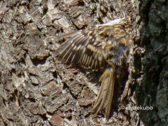 Treecreeper sunbathing on the tree