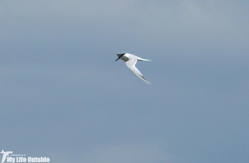 P1130607 - Sandwich Tern, RSPB Titchwell